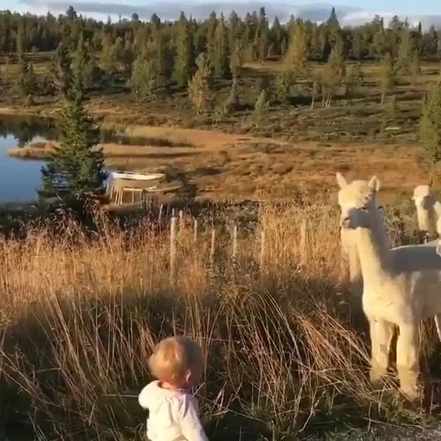 """Thursday's Cute Things - 6/9/2018. CUTE MEME OF THE DAY join list: CuteStuff (2127 subs)Mention History .. the alpaca one is norwegian, the parent says """"say hi to the alpacas then, unintelligable name"""" sounds like he called them """"Synnau"""" but i've"""