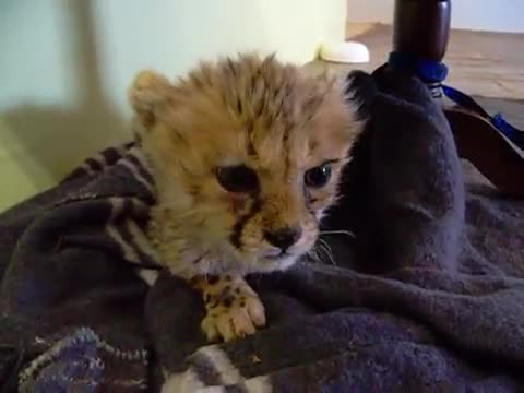 """Cute Baby Cheetah Meows, Sad story. Context from OP: """"This cheetah kitten named Nala was in Namibia Africa when I was visiting some friends of mine this pa"""