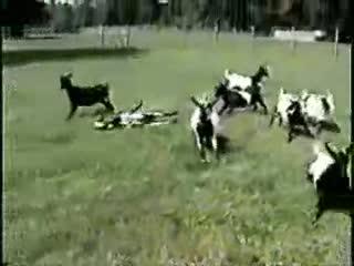 Fainting goats.. .
