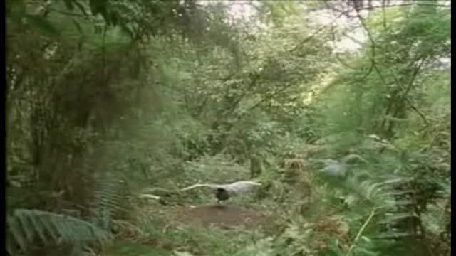 David Attenborough on Lyrebirds. .