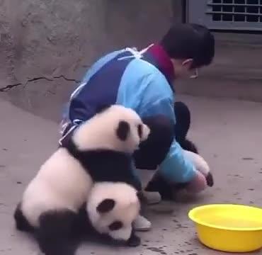 Washing Baby Panda. .