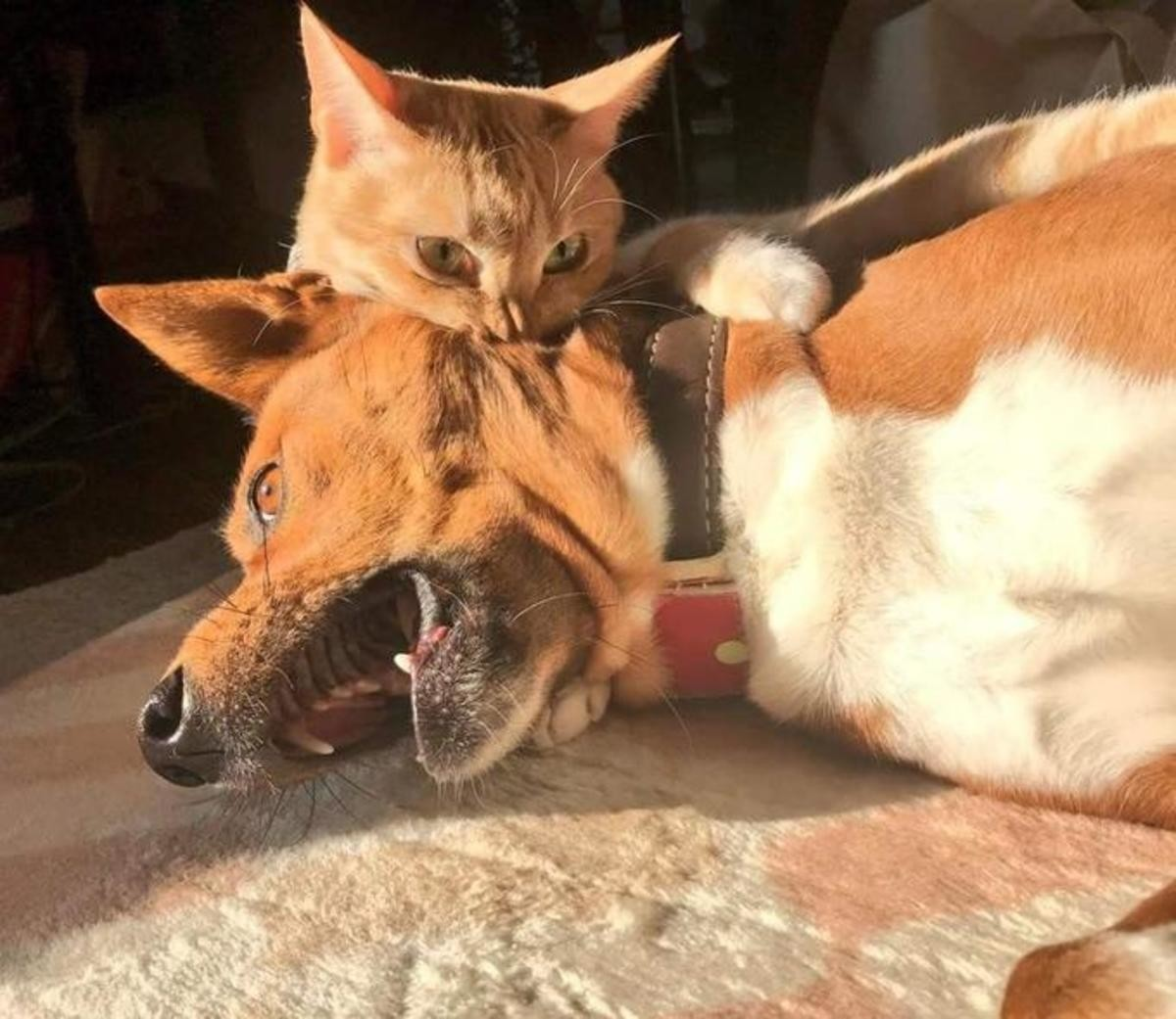 Accidental Renaissance painting - cat vs dog. .. Dang vampires