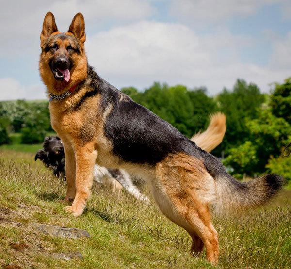 Animal comp: Dog - German Shepherd. DOG COMP, WOOH! This breed is known as the German Shepherd dog, or in German, Deutscher Schäferhund. They were formerly know