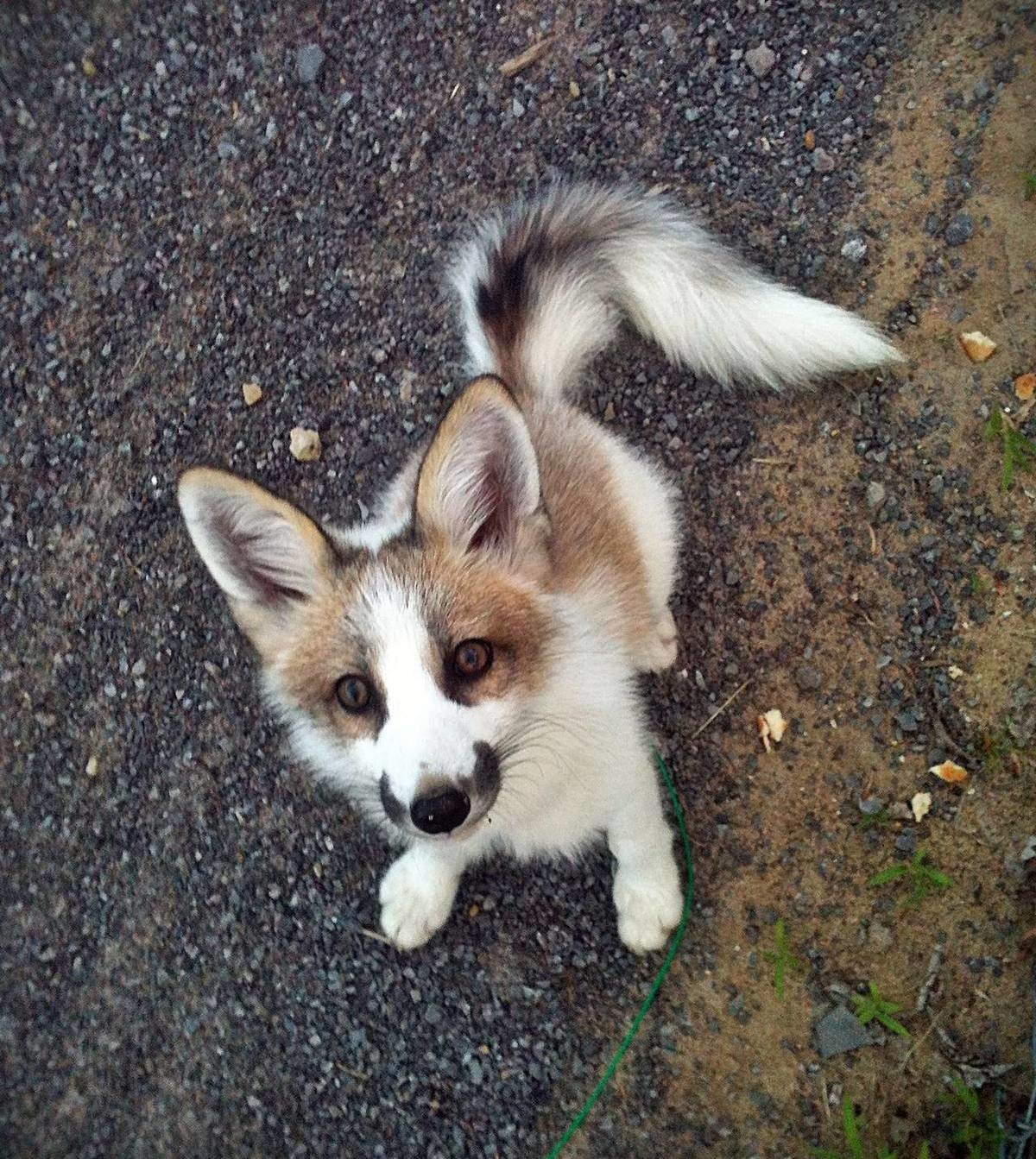 Canadian Marbel Fox. join list: DoseOfCuteness (598 subs)Mention Clicks: 76221Msgs Sent: 948362Mention History..  kusurisan continuing to be a great fren