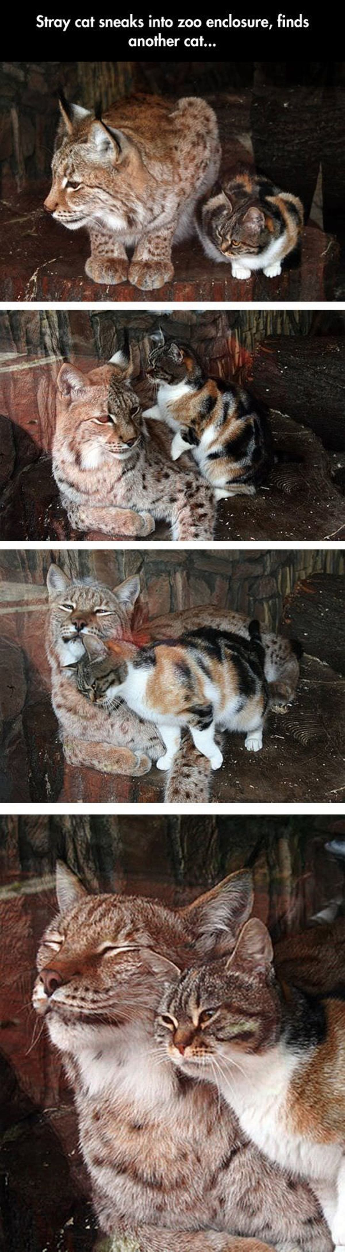 Cell Mates. An European Lynx had a feline friend who came to visit her everyday at the Leningrad (St Petersburg) Zoo, the oldest zoo in Russia. The calico cat b