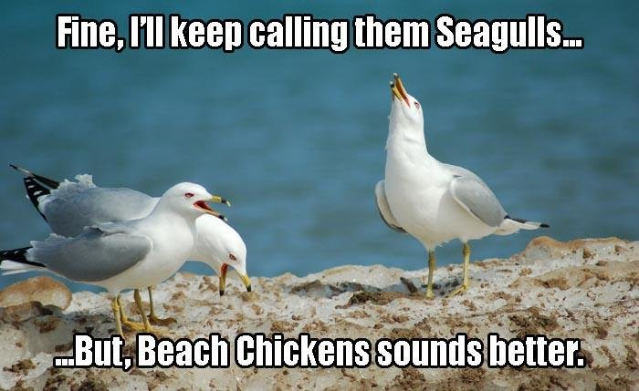 Chicken. Source: dumpaday. Fine. I' ll keen calling them Seagulls.... you mean flying rats right?