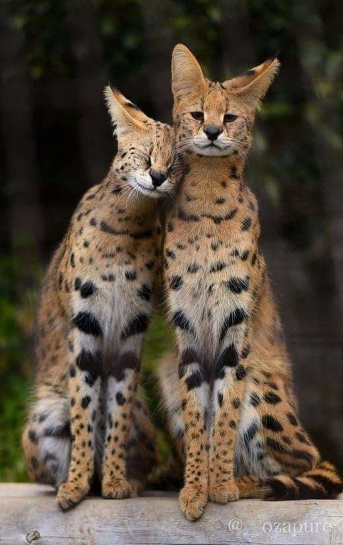 couple goals :3. join list: DoseOfCuteness (729 subs)Mention Clicks: 107778Msgs Sent: 1493954Mention History.. Servals