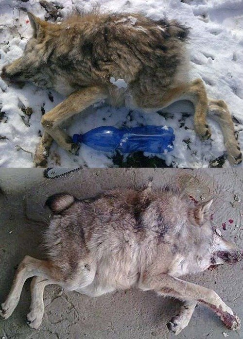Deformed wolf. A wolf taken down by hunters in Russia, suffering from a very rare spinal deformity. But yet this wolf managed to survive into adulthood... we found it
