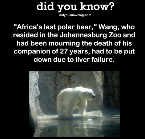 "DYK Comp #3. . did you know? d idgou k n . oom Africa' s last polar bear,"" Wang, who resided in the Johannesburg Zoo and had been mourning the death of his comp"