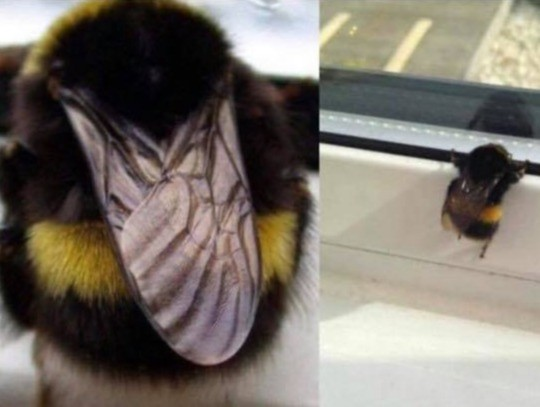 fat bee does his best. .. Bumblebees are bros.
