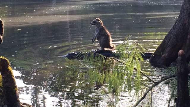 Florida crazy. Someone in Florida snapped a picture of a raccoon riding a gator at the Ocala National Forest... Guardians of the Galaxy 2 is looking great.