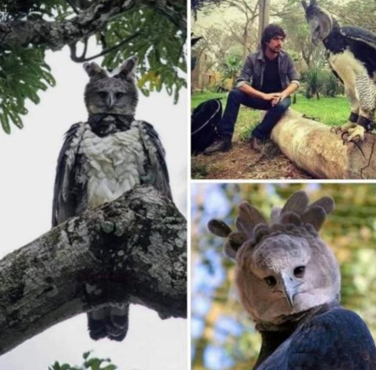Harpy eagle. Add this to the list of animals that are just people in animal costumes...right up with sun bears... People wonder why ancient humans used to worship animals and/or think they were fae type entities Tell me that if you were walking through the woods for days to
