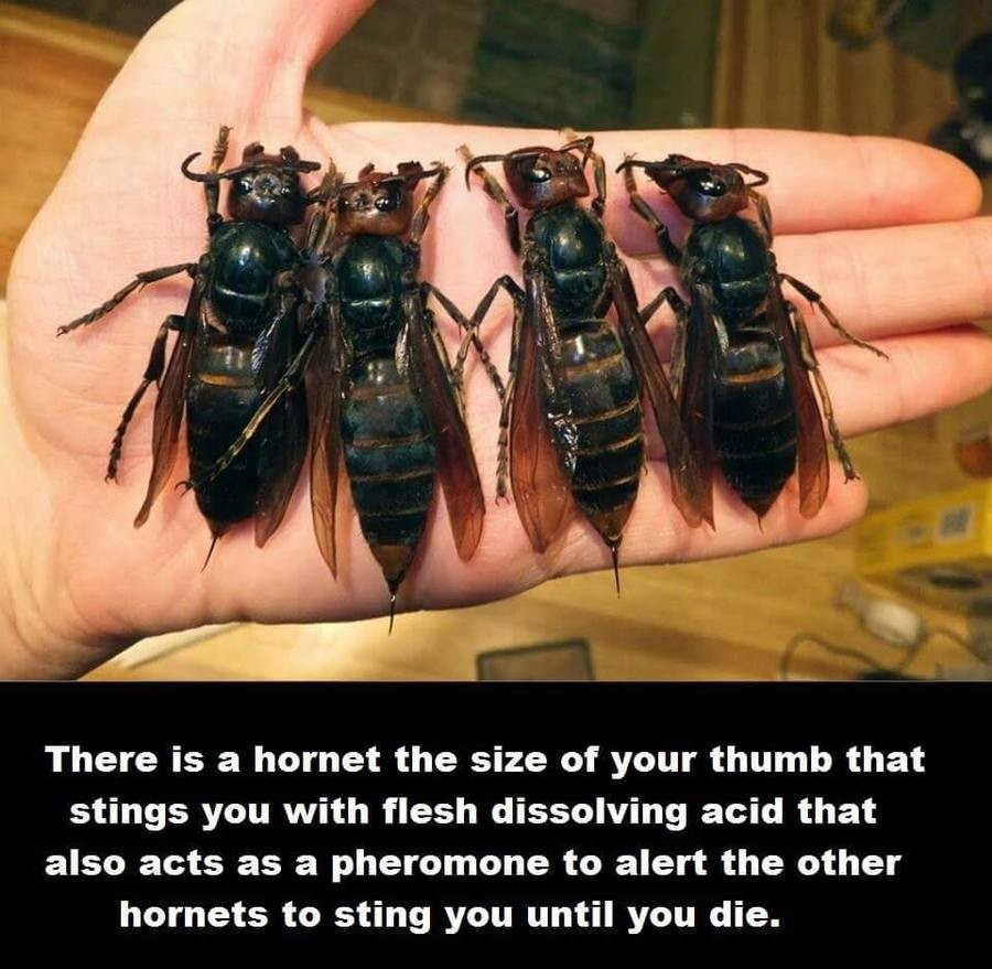Hell NO. . There is a hornet the size of your thumb that stings you with flesh dissolving acid that also acts as a pheromone to alert the other hornets to sting