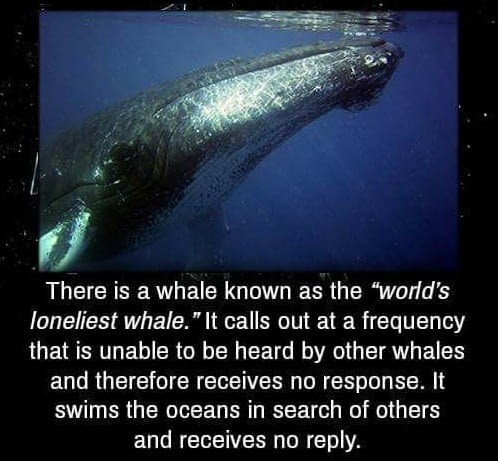 """Hello darkness. . There is a whale known as the """"wadd' s orneriest whale. """"It calls out at a Frequency that is unable to be heard by ether whales and therefore"""
