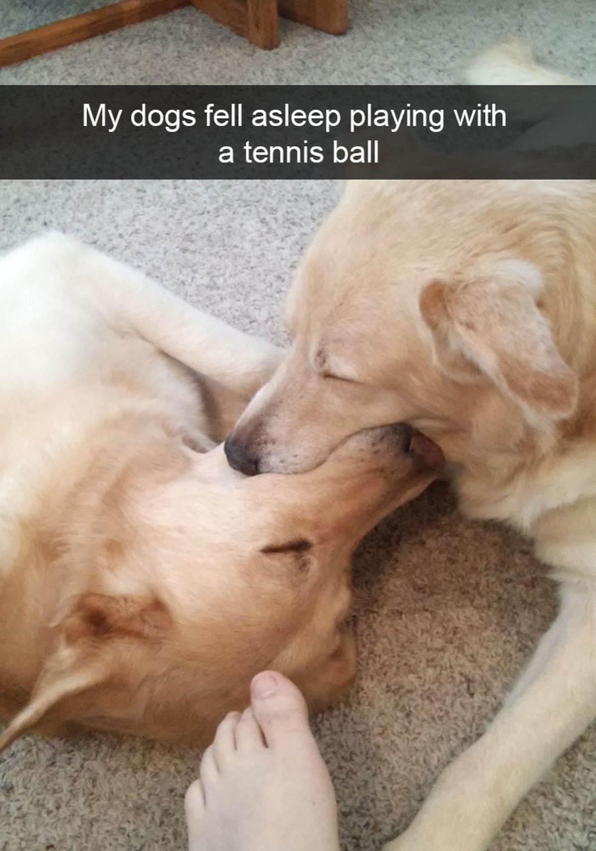 Hilarious Dog Snapchats. join list: CuteDogs (234 subs)Mention Clicks: 4485Msgs Sent: 28713Mention History. My dogs fell asleep playing with a tennis ballEvery