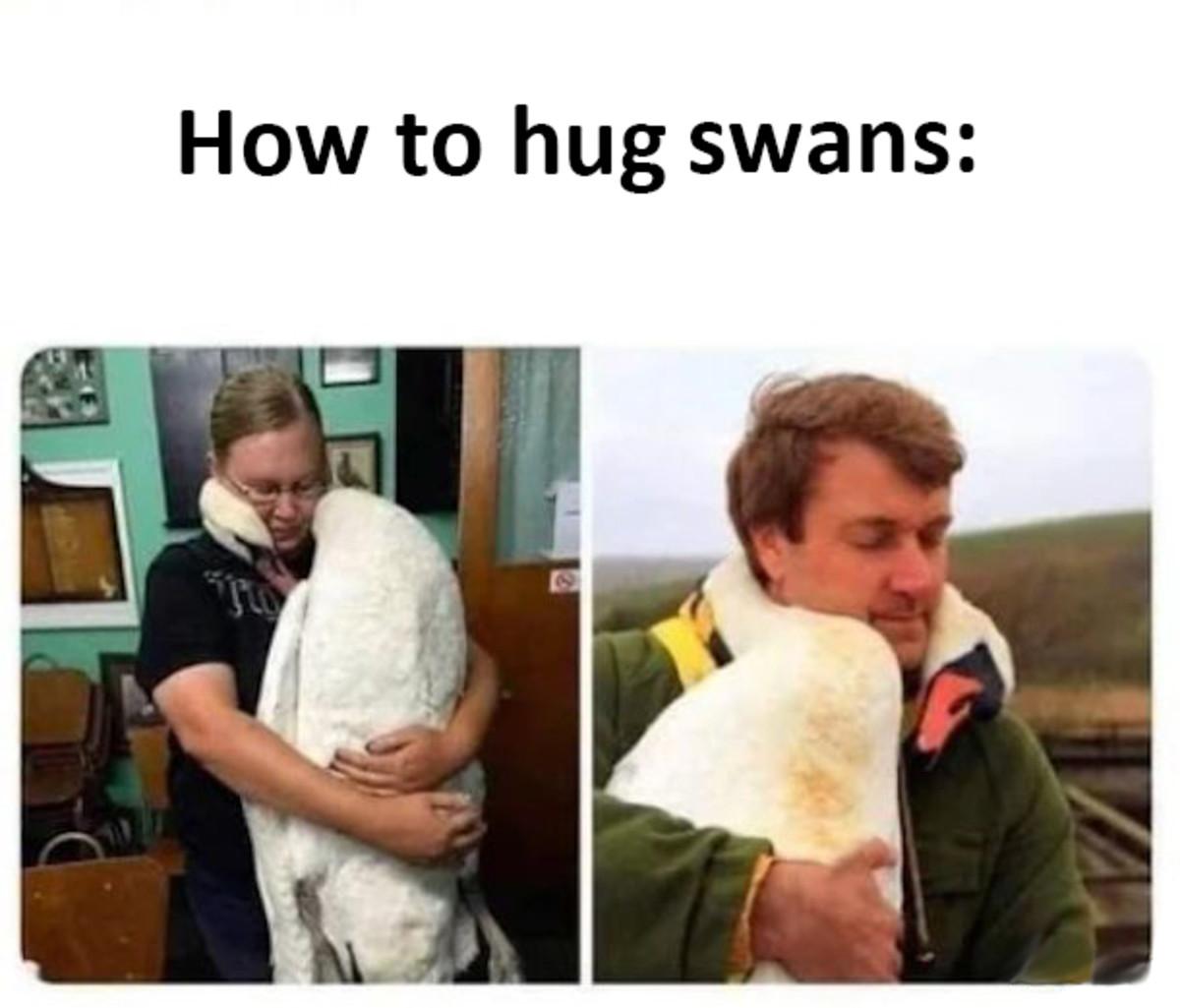 How to Hug Swans. .