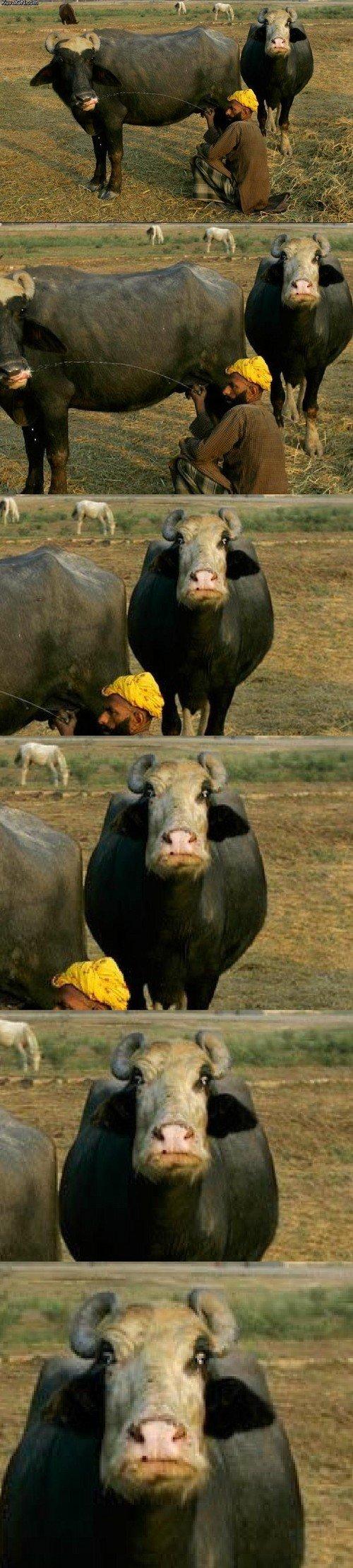 Intense cow. Save FJ. iam