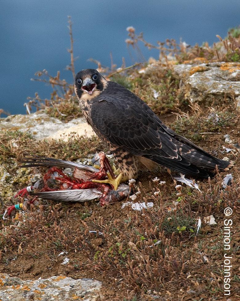 Killing a mockingbird.. Source, Paragrin falcon.