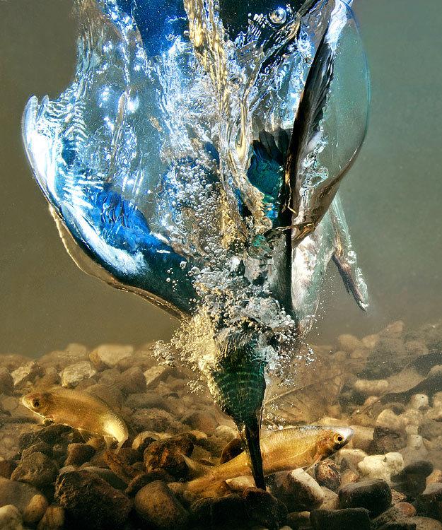 Kingfisher - stock photo. .. the Police