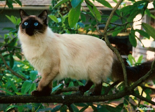 kitty spotlight: balinese. Also called a purebred long-haired Siamese, these cats can come with two styles. Both styles have grace, elegance, long tails and lar