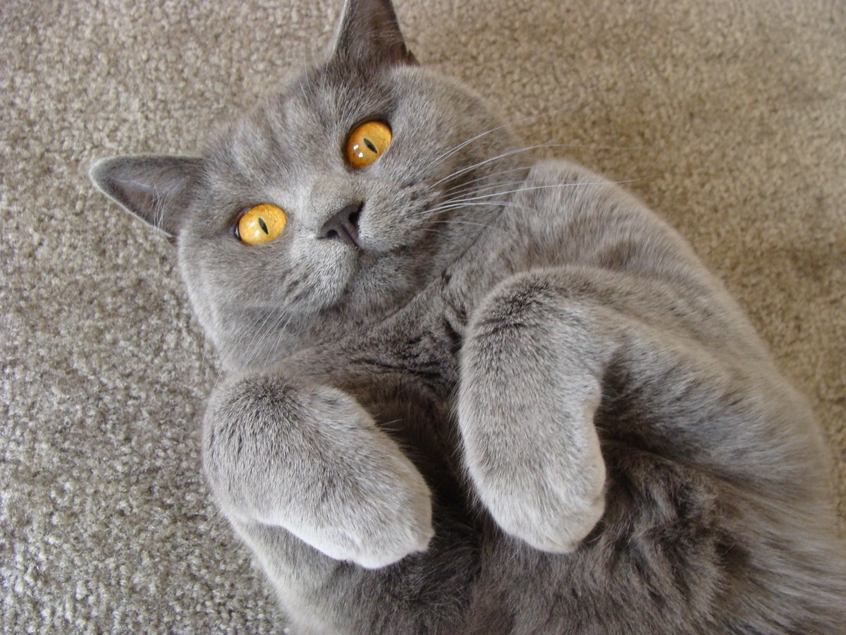 kitty spotlight: british shorthair. A pedigreed version of the traditional British domestic cat. These cats are a chunky cat with a dense pelt. Even though thes