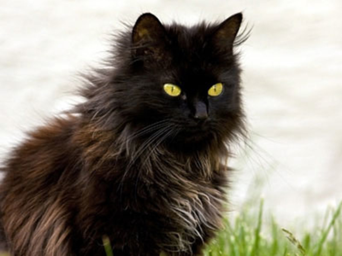 kitty spotlight: chantilly. Also known as the Tiffany, or Foreign Longhair, they are a result of breeding a Malayan and a Burmese. They come in various colors,