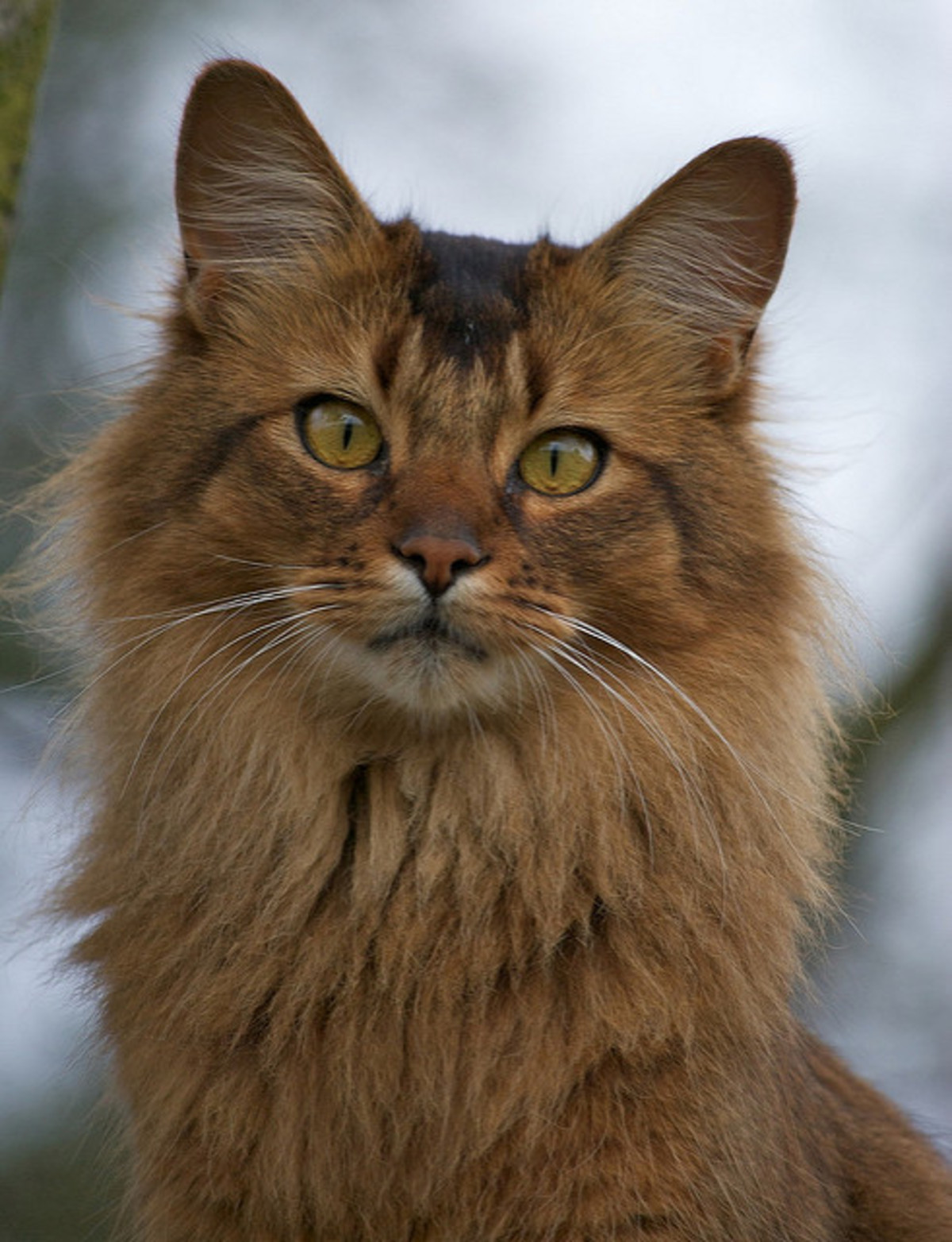 kitty spotlight: somali. It's thought that these cats have some Abyssinian in them. Their appearance, consisting of pointed ears and bushy tails, gives them the