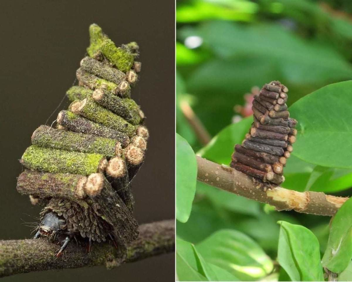 nature is crazy. The Bagworm Moth Caterpillar collects and saws little sticks to construct elaborate log cabins to live in... They're not always that pretty, but it's true.