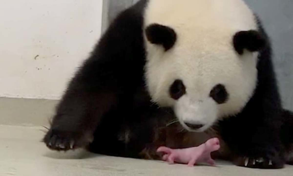 New Born Pandas. New born pandas weigh about 3.5 ounces making them 900 times smaller than their mothers... pandas even half-ass the whole gestating their offspring is there anything pandas cant up? maybe besides going extinct