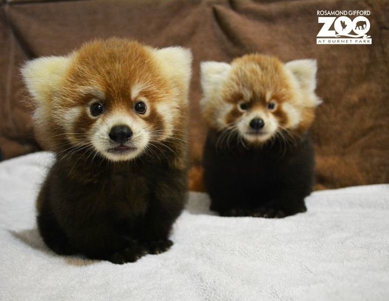 not red pandas. red panda, fox puppy thing, whatever.