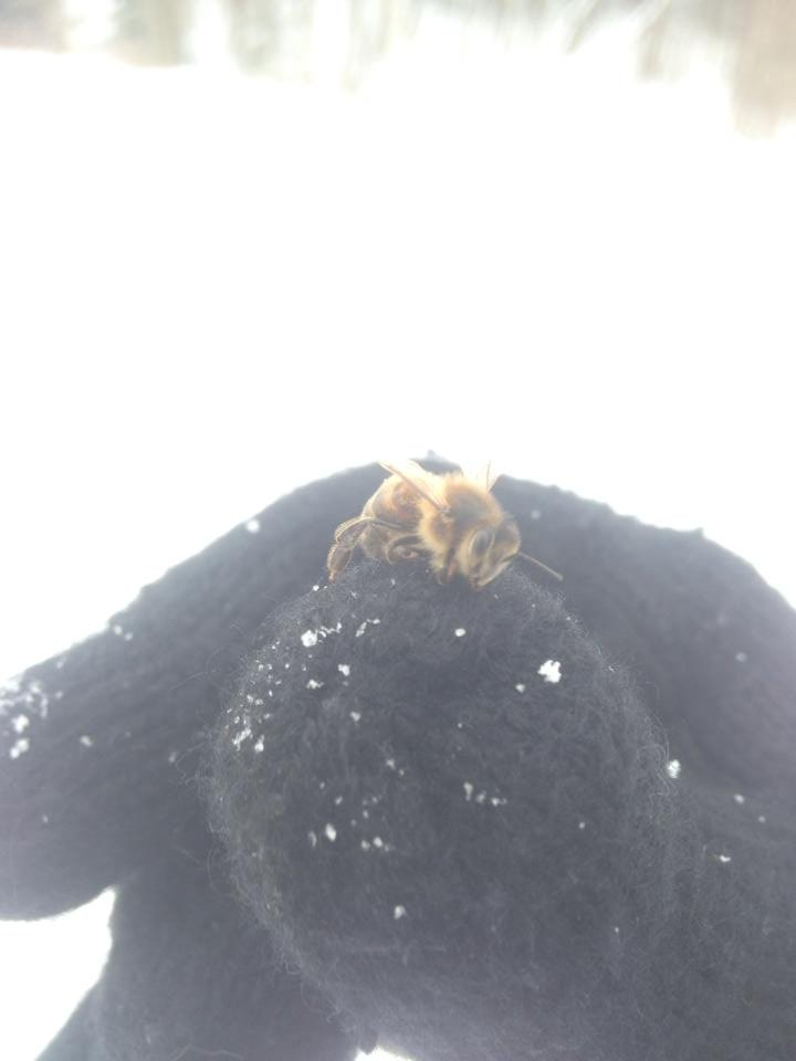 OMG APOCALYPSE!!!. It really can't be a good sign to find this guy this time of the year.. that's not a winter wasp, its a bee dying from the cold