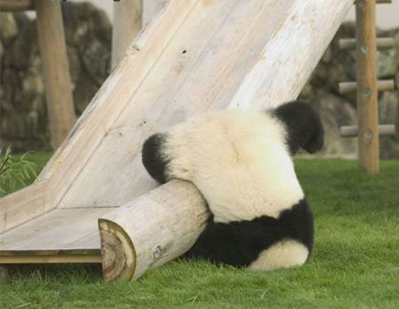 Panda Fail. This panda looks adorable even when its failing.. awwww! poor thing! ill help you up!!!