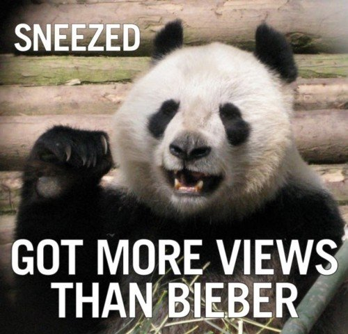 Pandas are awesome. Pandas are better than Bieber, simple... Panda has 138M Bieber has 2500M