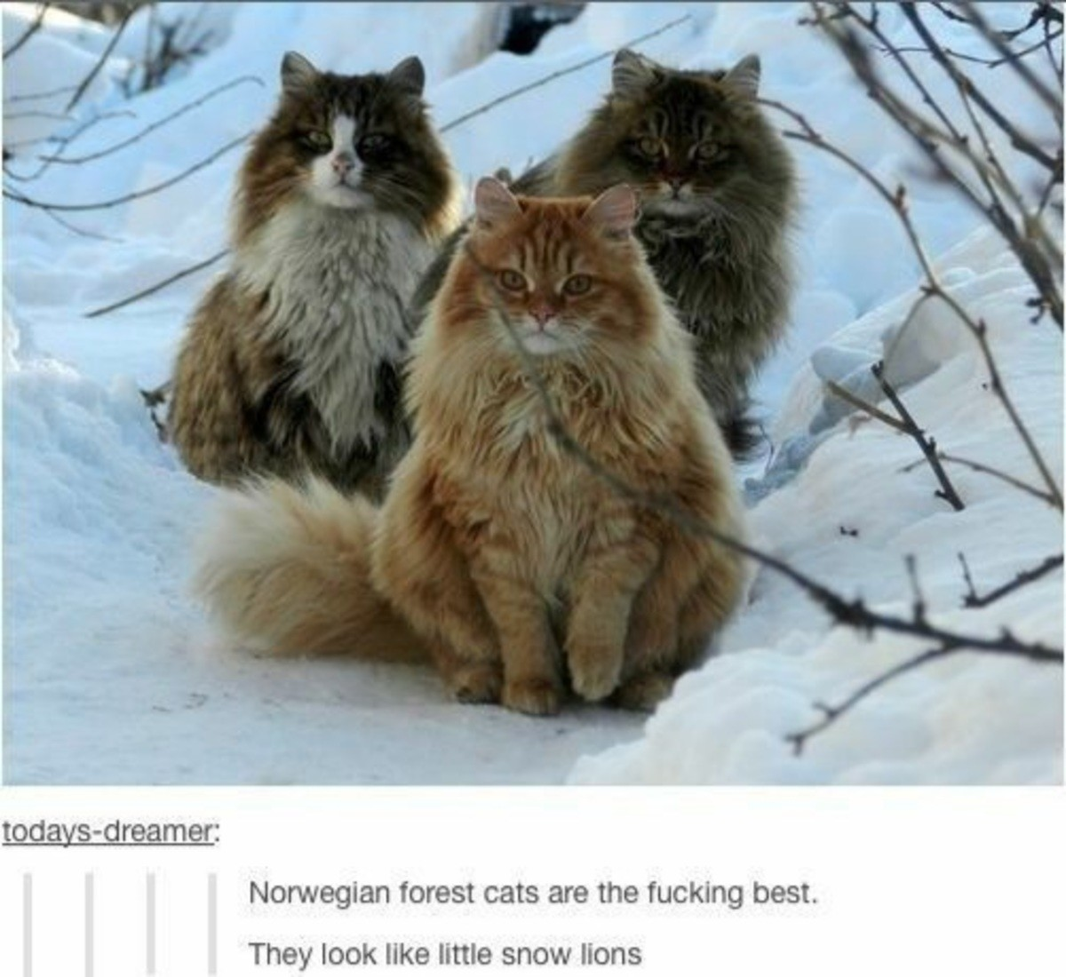 past tranquil Worm. .. Please, Norwegian forest cats are just the smoll version of the magnificent Main Coon