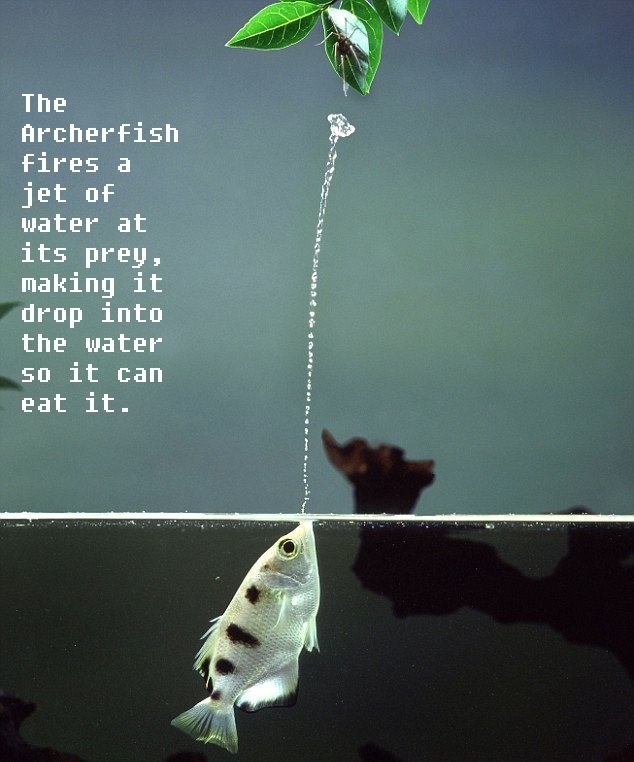 The Archerfish. I don't like archery too many drawbacks. The fires a jet of water at its prey, making it drop into the water so it can eat it.. The most interesting thing about this fish, however, is how it's still able to aim with the refraction of the water surface.