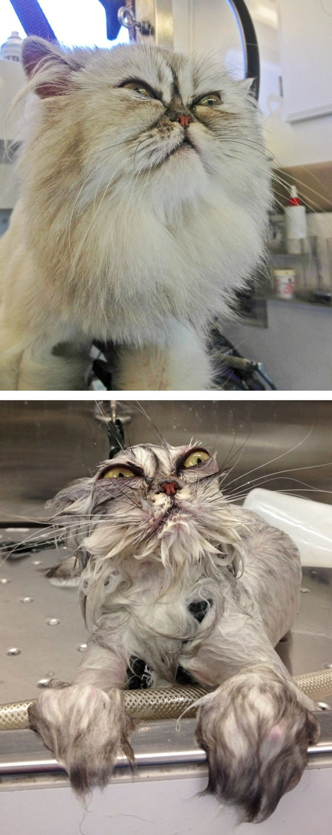 The before and after, pet bath comp. Got this off of Facebook today. The source is Bored Panda. boredpanda.com/funny-wet-pets-before-after-bath-dogs-cats.