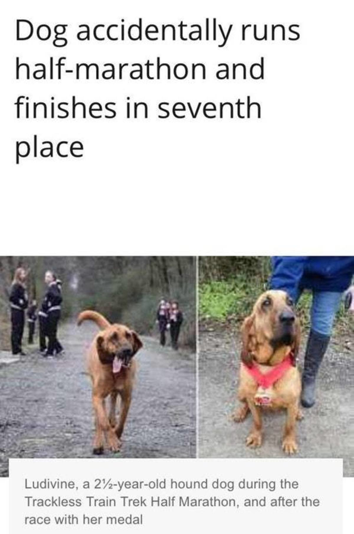 The best of boys. . Dog accidentally runs and finishes in seventh place a 2% -yearsold hound dog during the Trackless Train Trek Half Marathon, and after the ra