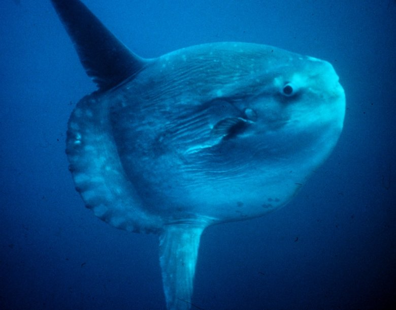 The Big Bad Motherer. This dude here is The Ocean Sunfish, aka. Mola Mola. It is the heaviest bony fish in the world, and as you can see, it's really horrifying