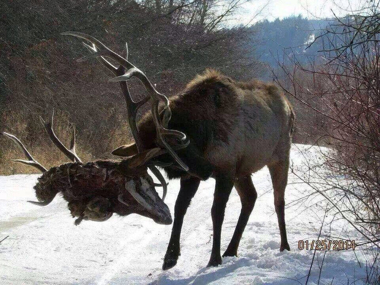 The Most Metal Thing. Everyone likes to hang a head with antlers as a trophy!.. did he just.....rip off another buck's head?
