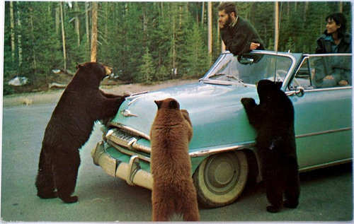 The Three Bears. .. What this picture doesn't show is the fourth bear sneaking around behind the car to knock out the unsuspecting passengers. Bear car theft is on the rise - up 42