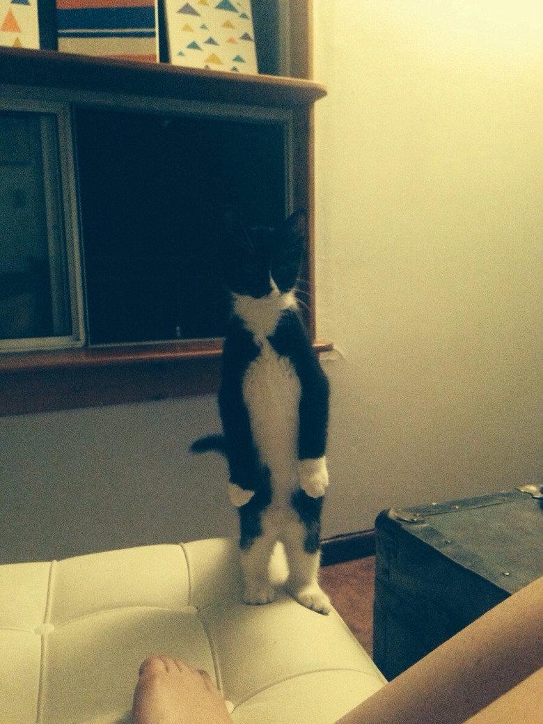 This kitten enjoys standing on its legs. .