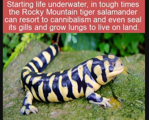 tiger salamander. .. cool