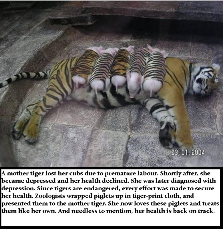 Tiger mother. not sure if repost o_O wtf, frontpage, thanks... l Fl' tiger her M' !! l due to premature ' mll }' after, she n _' l' depressed and her health dec