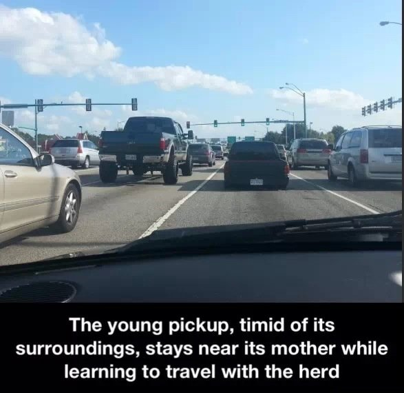 Today on NatGeo. . The young pickup, timid of its surroundings, stays near its mother while learning to travel with the herd. relevant