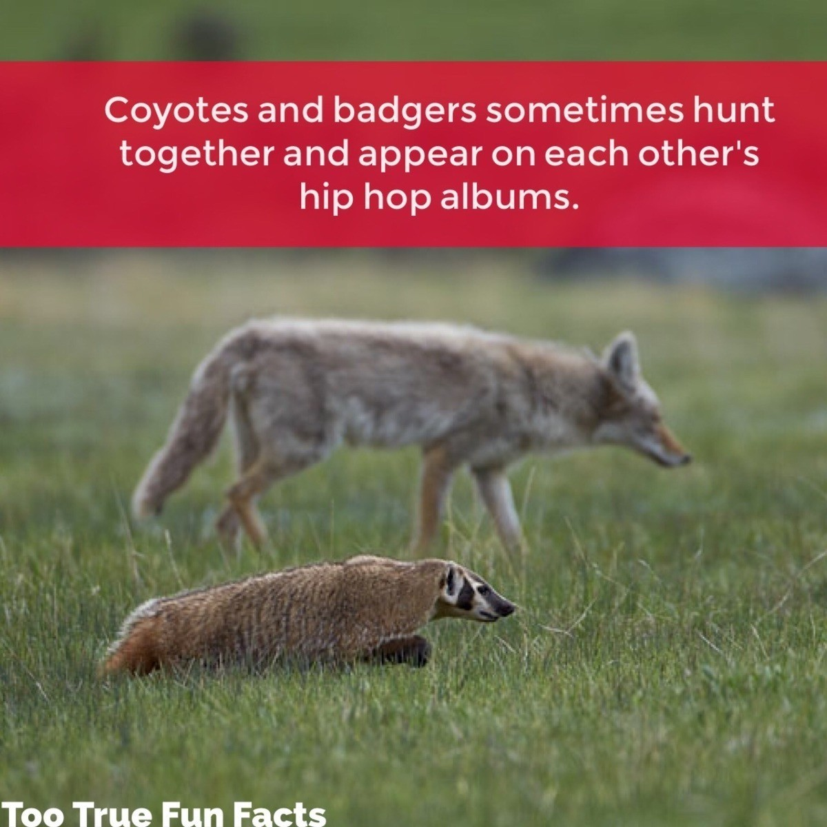 Too True Fun Fact. . Coyotes and badgers sometimes hunt together and appear on each other' s hip hop albums. Too True Fun Facts. I'm drunk please explain this to me.