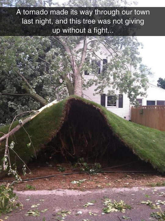 Tree Was Not Giving Up. Tree Was Not Giving Up . A tornado made its way through our town last night, and this tree was not giving out a fight