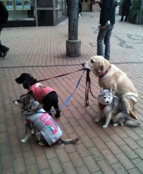 True Dog Walker. first they pplay poker then they walk each other....................next they'll start a war with france.