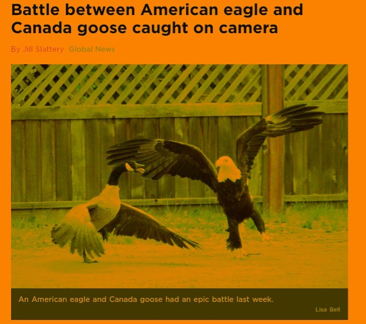 Trump vs Trudeau. . ill Battle between American eagle and Canada geese caught on camera E) y Jill Sluttery til An American eagle and Canada geese had .'aah' epi