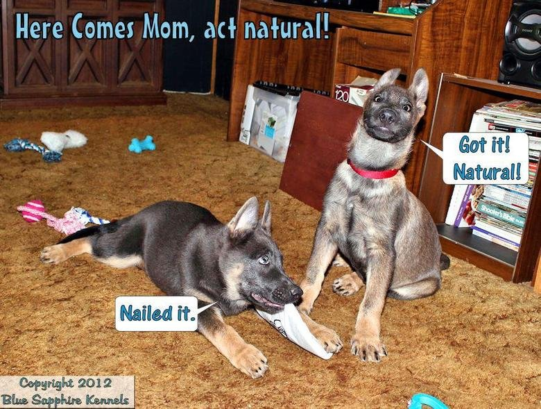 We're being good!. Two of our blue German Shepherds as 10 and 11 week old pups. Bama (Blue Sapphire's Roll Tide) and Bandit (Kerstone's East Bound and Down) in