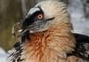 The Lämmergeier or Bearded Vulture